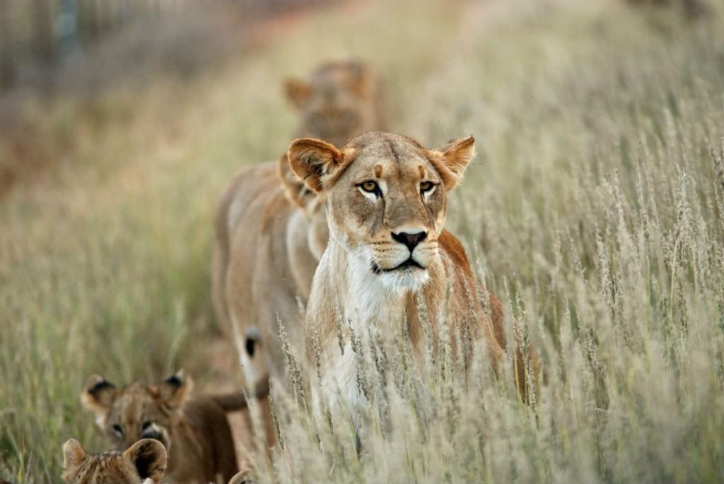 leon safari sudafrica