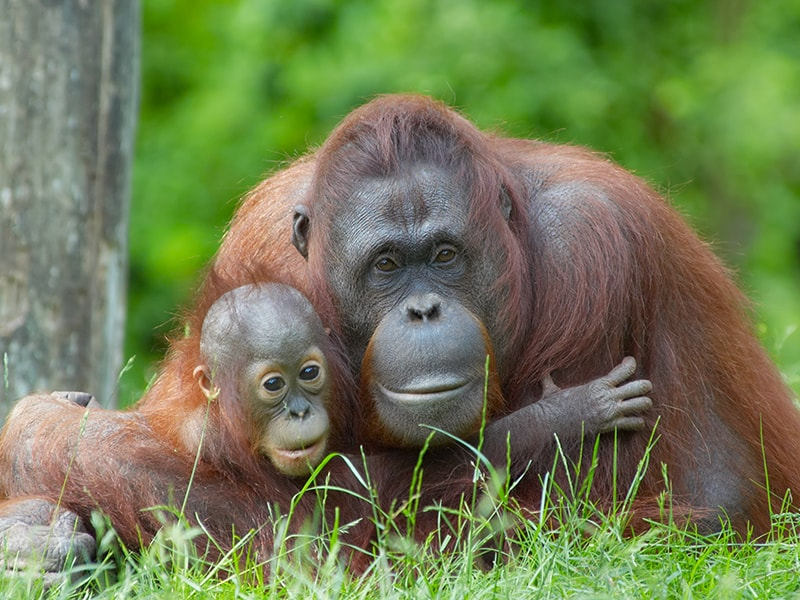 Malaysia. Spend an entire day among orangutans