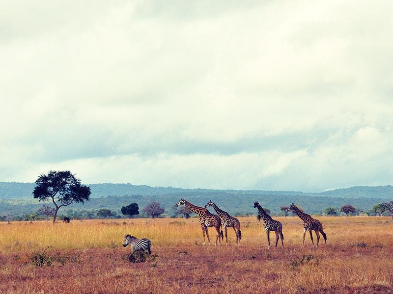 Tanzania. Walking safari