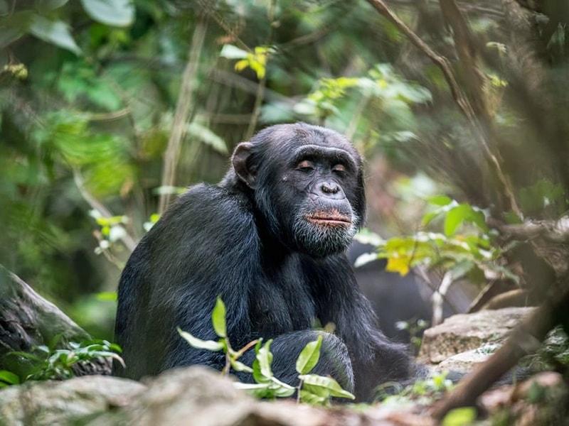Tanzania. Meet the chimpanzees