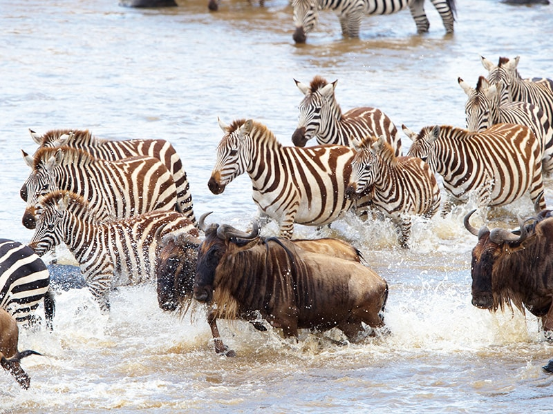 Tanzania. The migration of the wildlife