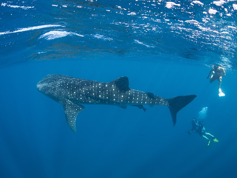 Beaches of America. Snorkeling among whale sharks