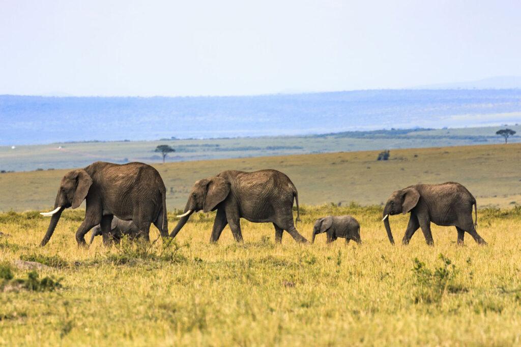 familia, elefantes, africa, nuba