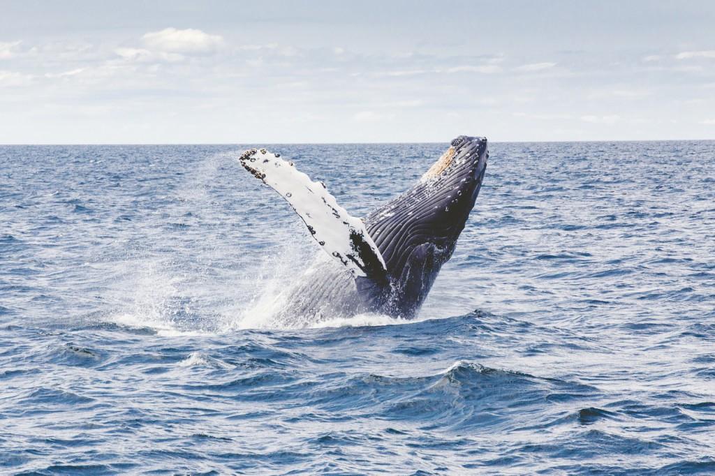 ballena jorobada islandia