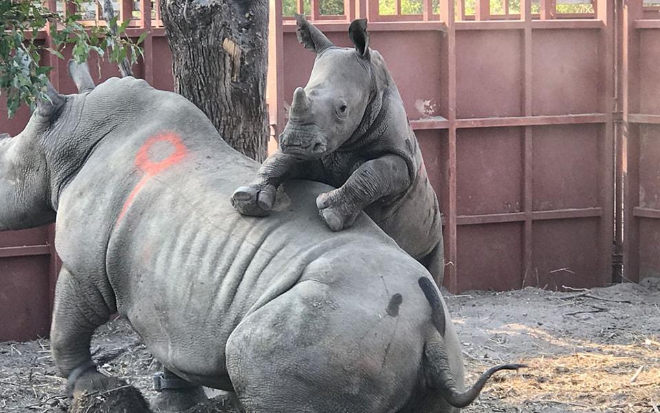 Recuperación del rinoceronte africano