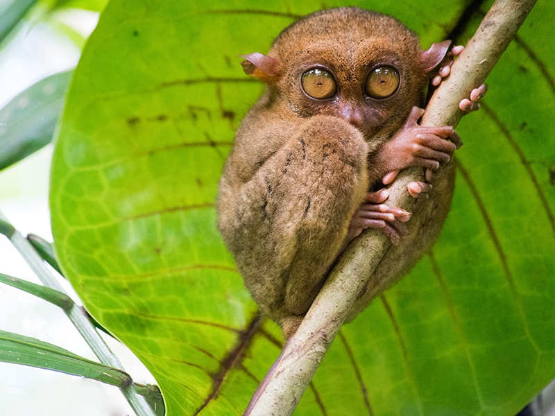 Philippines. Take a closer look at the tarsiers