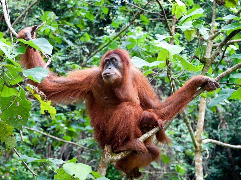Indonesia. Admire the orangutans of the jungle of Borneo