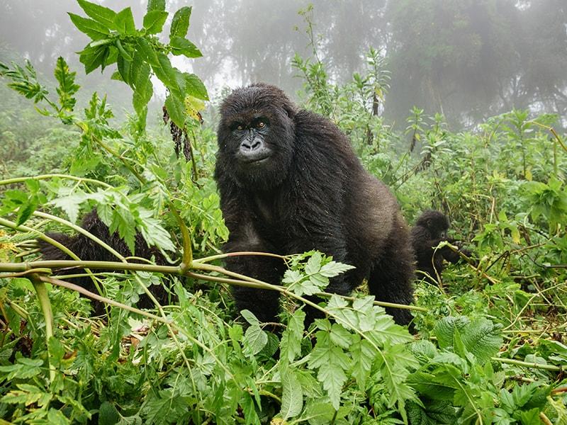 Ruanda/Uganda. Contemplar los gorilas de montaña