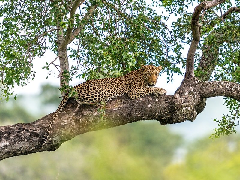 Sri Lanka. Safari por el Parque Nacional de Yala