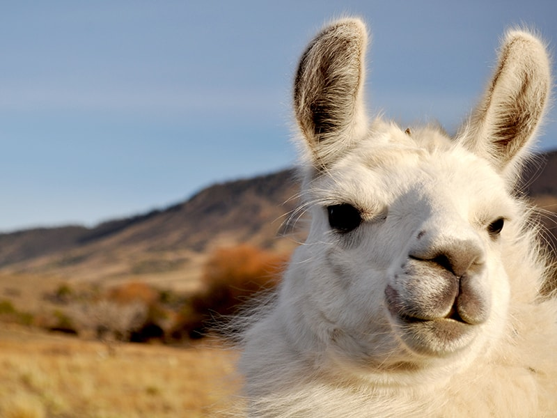 Argentina. Trekking with caravan of llamas
