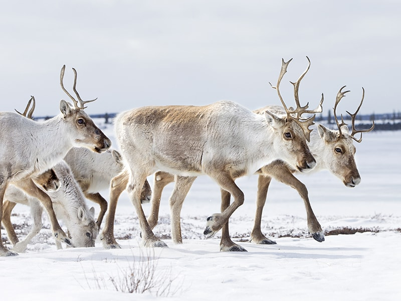 Canada. Get to know the unusual caribou