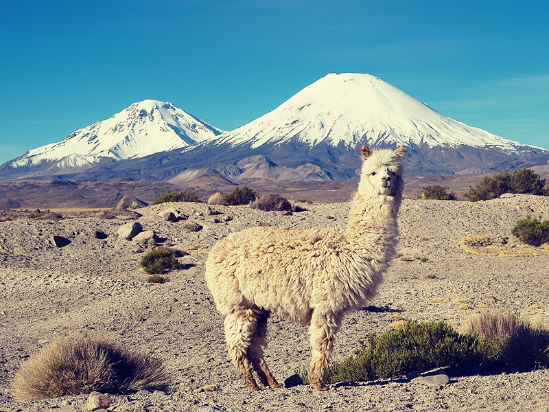 Chile. Enjoy the Andean wildlife