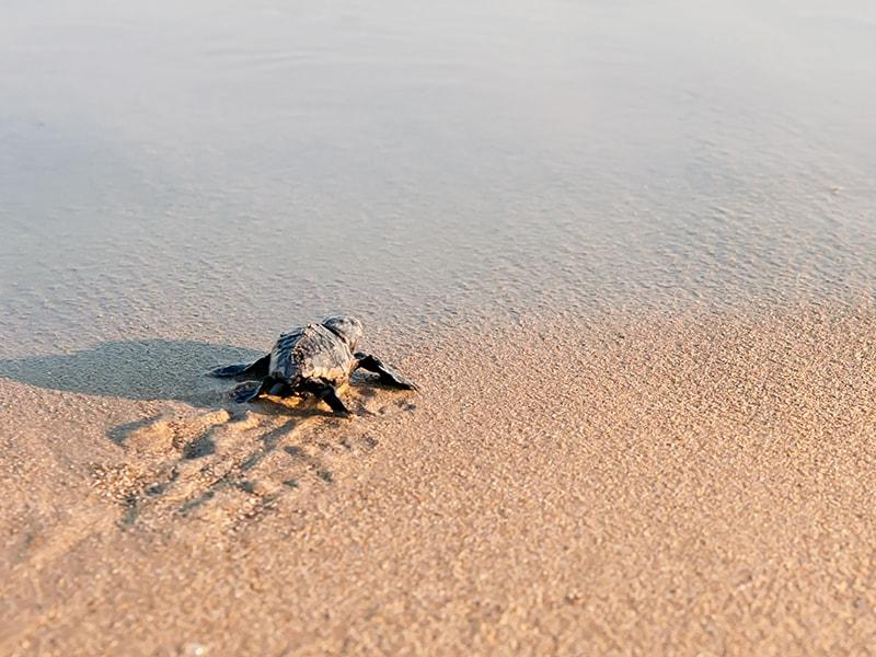 Ecuador y Galápagos. Ver el desove de las tortugas verdes