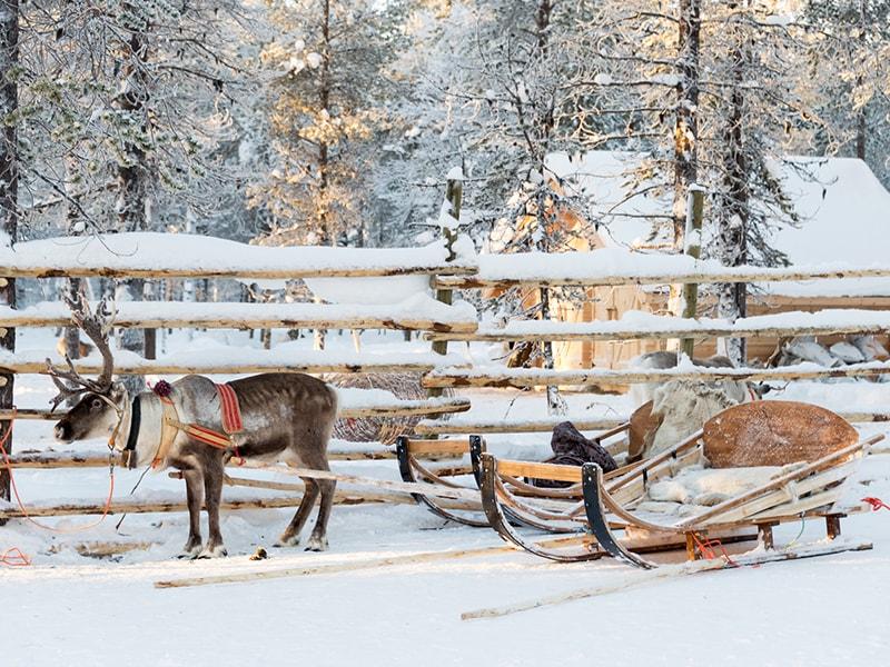 Finlandia. Paseo en trineo tirado por renos