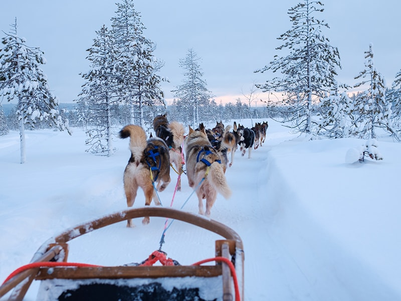 Finland. Sleigh ride pulled by huskies