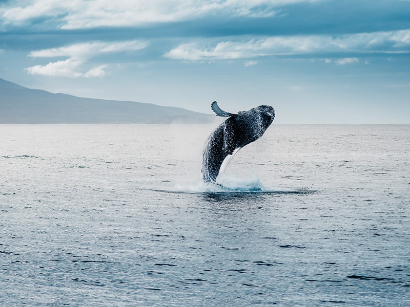 Iceland. Whale Watching