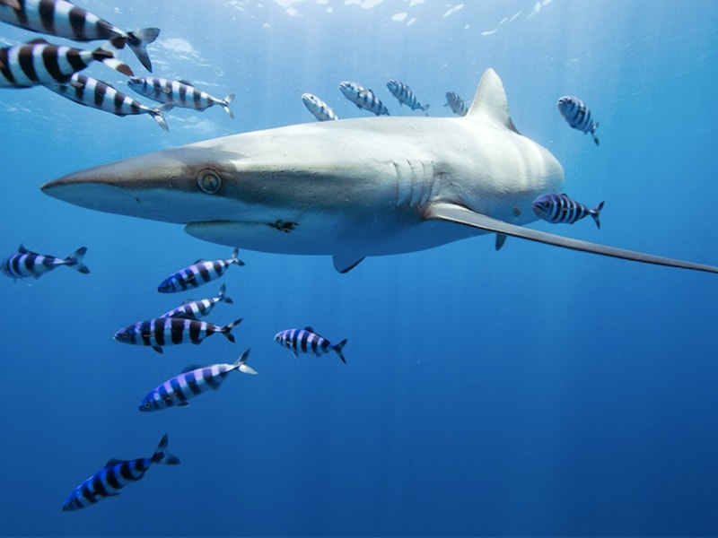Mexico. Enjoy a Pelagic safari to admire sharks